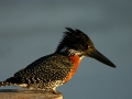 429 Giant Kingfisher