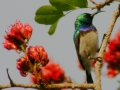 787 White-bellied Sunbird